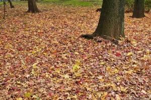 敷き詰められた落葉