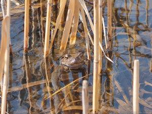 冬眠明けのカエル
