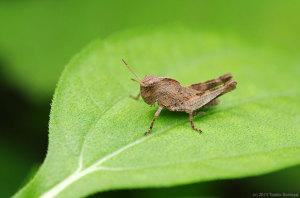 クルマバッタモドキの幼虫