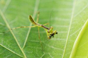 ハラビロカマキリ幼虫の捕食