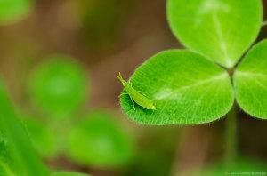 オンブバッタの幼虫