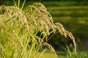 黄金色に実る稲