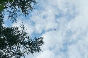 飛ぶアサギマダラ