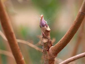 ヤマハゼの冬芽