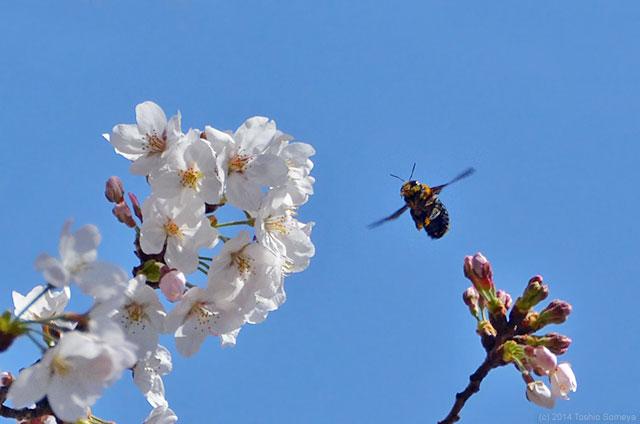 サクラに来たクマバチ