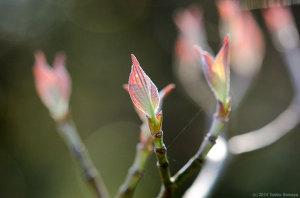 ハナミズキの葉芽