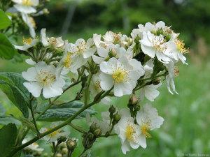 旬の花は白