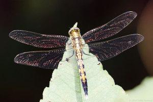 ムギワラトンボの翅輝く