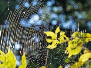 ジョウロウグモの網