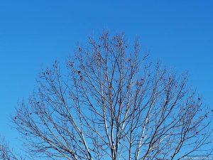 鈴懸の木で