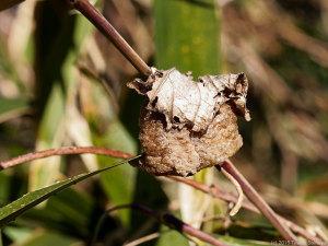 オオカマキリの卵鞘・雨除け付き