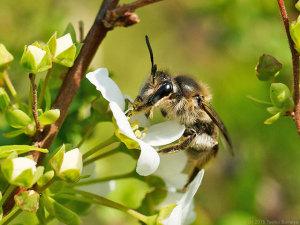 ユキヤナギの花にハチ