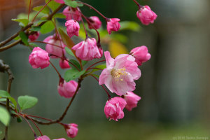 ハナカイドウの花