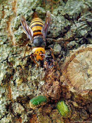 オオスズメバチの樹液摂取