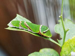 クロアゲハ幼虫