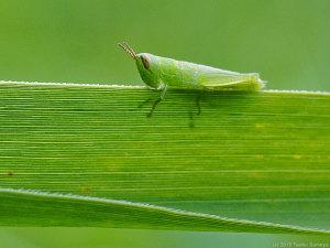 コバネイナゴ幼虫