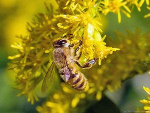 ミツバチの吸蜜