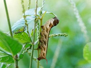 コスズメの幼虫