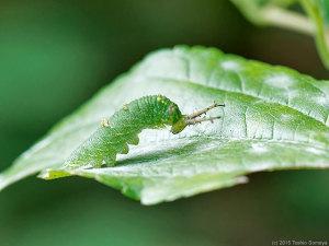アカボシゴマダラ幼虫の祈り