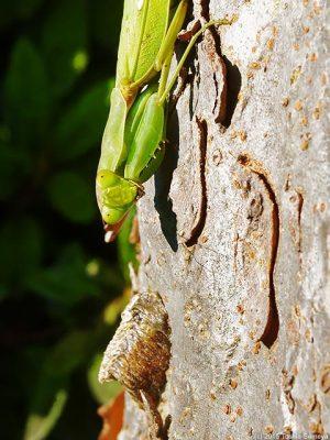 ハタビロカマキリ雌の視線
