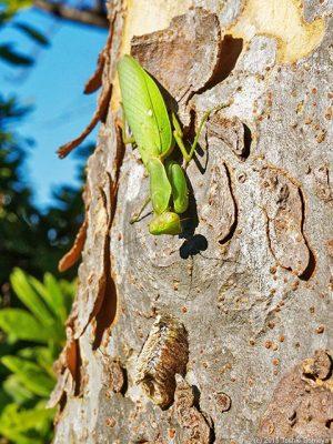 ハラビロカマキリ雌と卵鞘