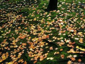 カエデの落葉