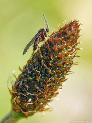 ヘラオオバコの花穂と小さなハエ(?)