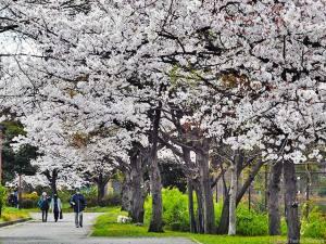 桜の木で怪しい行動を・・