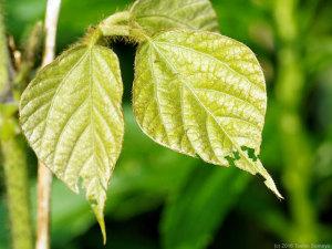 クズの葉に付いたコフキゾウムシの食痕