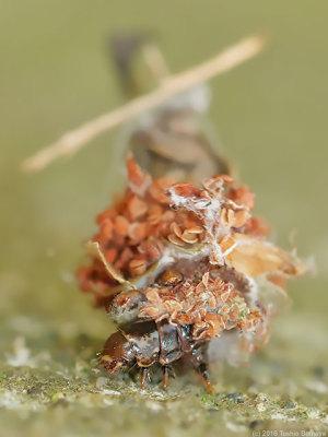 正体はクサカゲロウ幼虫