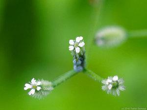 ヤブジラミの花