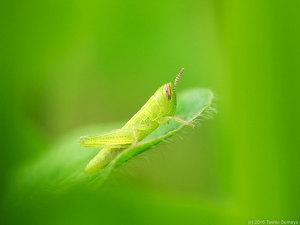 イナゴ幼虫