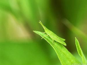 オンブバッタ幼虫