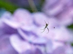 アジサイの花近くの蜘蛛