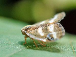 ベッコウハゴロモ成虫