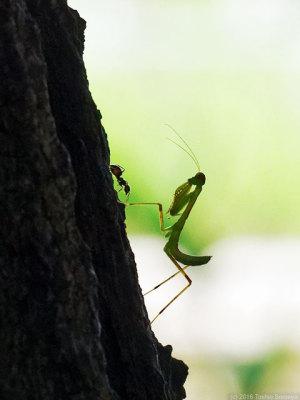 ハラビロカマキリ幼虫の木登り