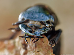 カミキリムシ幼体の頭部