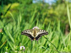 梅雨明けを待つ蝶たち