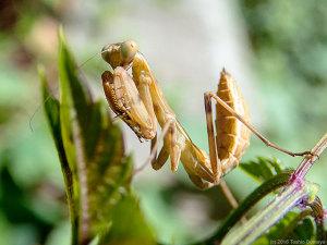 コカマキリ幼虫
