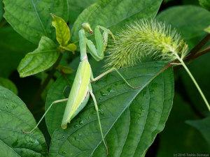 ハラビロカマキリの成虫・メス