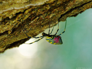 枝を這うジョロウグモ・雌