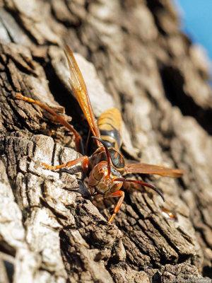 ヤナギの木にいたセグロアシナガバチ