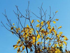 青空に映える黄葉