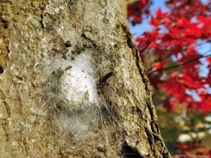 カエデの幹にジョロウグモの卵嚢