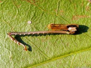 昆虫の片脚