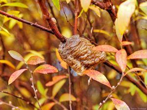 ユキヤナギの紅葉とオオカマキリ卵鞘