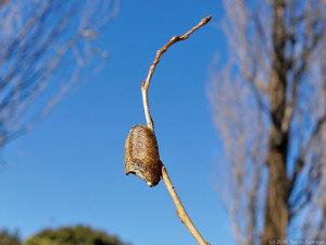 ポプラの細枝で見たハラビロカマキリ卵鞘