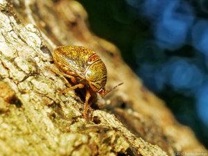 越冬中のマルカメムシ成虫