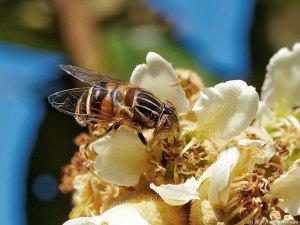 ビワの花で吸蜜するアブ