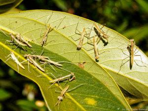 孵化直後のオオカマキリ幼虫集団